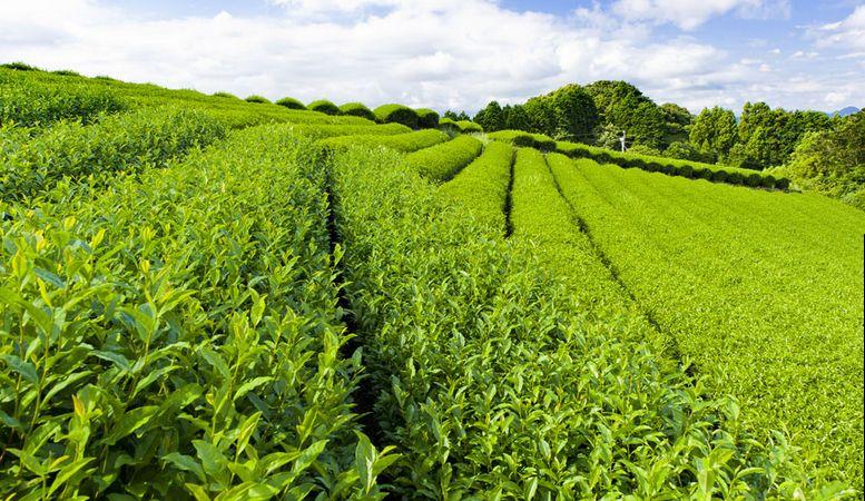 茶叶包装机的特点,茶叶包装机厂家有哪些?